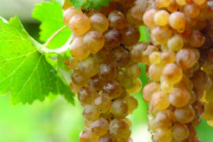 Georgian grape variety